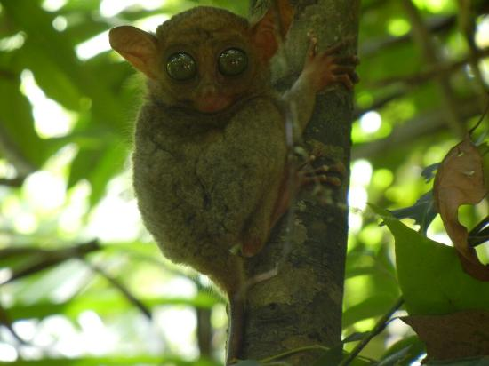 Philippine Tarsier and Wildlife Sanctuary: Perfect shot with its large glassy eyes looking right at the camera. Lucky that they were awake