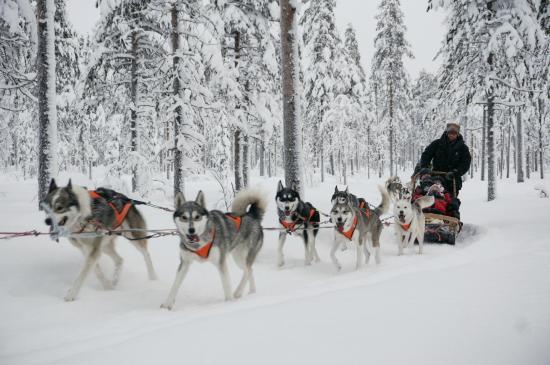 Santa Claus Village: Dog sledding