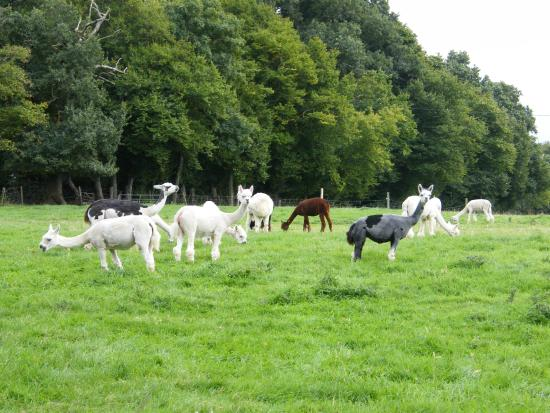 Deux-Chaises, Γαλλία: Les lamas du Tilloux