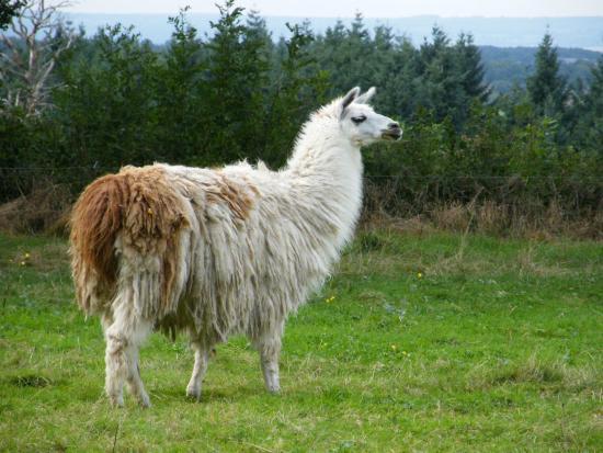 Deux-Chaises, فرنسا: Les lamas du Tilloux