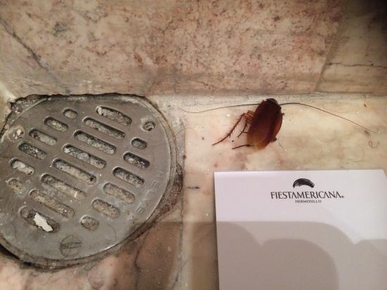Fiesta Americana Hermosillo: Barata encontrada no banheiro. Tive que matá-la.