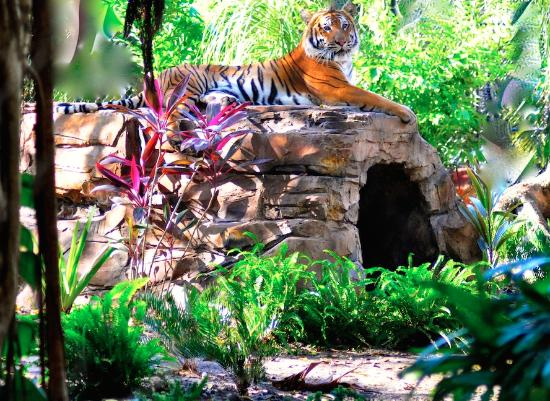 Mata, one of four endangered Malayan tigers at the Palm Beach Zoo & Conservation Society