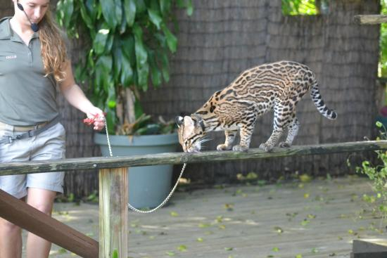 Palm Beach Zoo Conservation Society Jade An Ocelot During The Wild Things