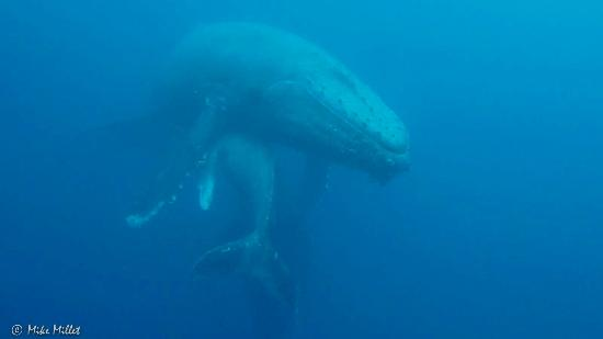 Socorro Island: Humpback whale with calf