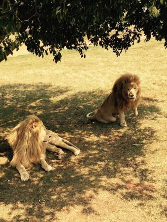 Broederstroom, Afrique du Sud : The Big Cats!