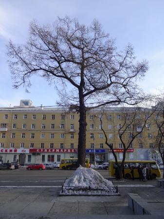 Ботанический памятник природы Лиственница сибирская