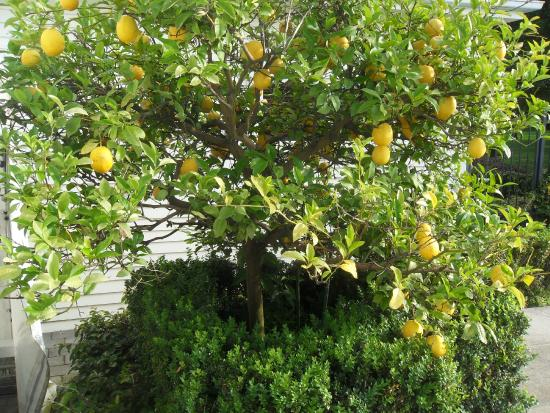 Oak Lane Lodge : lemon tree by pool