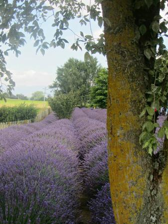Alphra Lavenders: Lavender everywhere