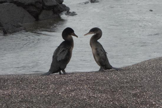 Fernandina, Equador: courting Flightless Cormorants