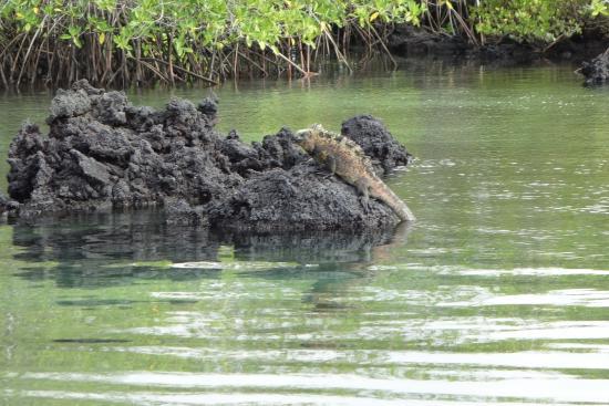 Изабела, Эквадор: marine iguana