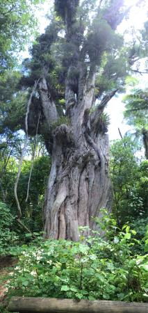 Bushy Park Homestead: Amazing Kauri tree