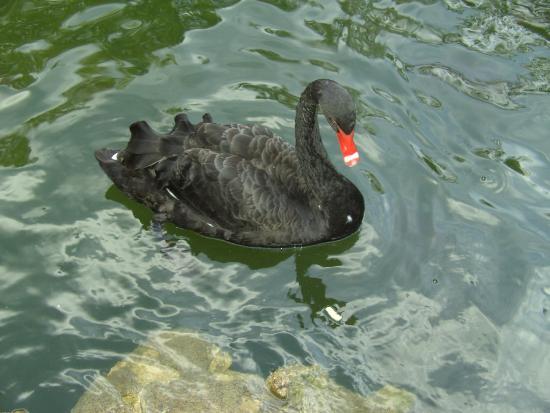 Parque Campo Grande: Precioso Cisne Negro