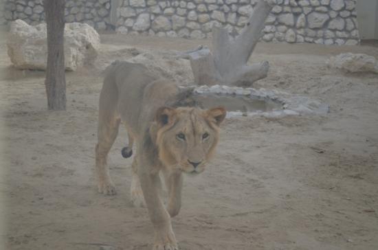Al Areen Wildlife Sanctuary: Lion