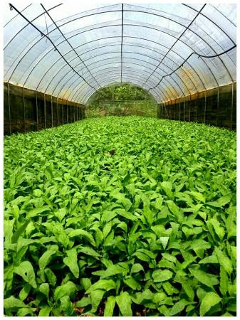 Fire Flies Health Farm: Chinese spinach. no chemical fertiliser, pesticide, fungicide... ORGANIC