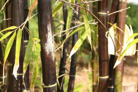 Port St Lucie Botanical Gardens: Bamboo Garden