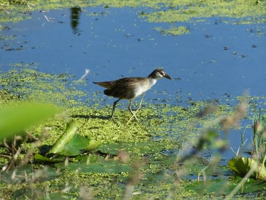 Fine Feather Tours: White-browed Crake