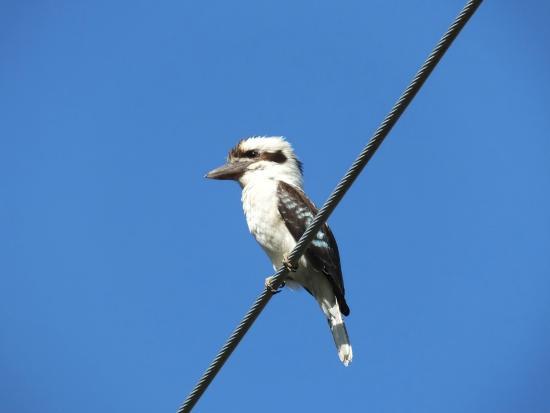 Fine Feather Tours: Laughing Kookaburra