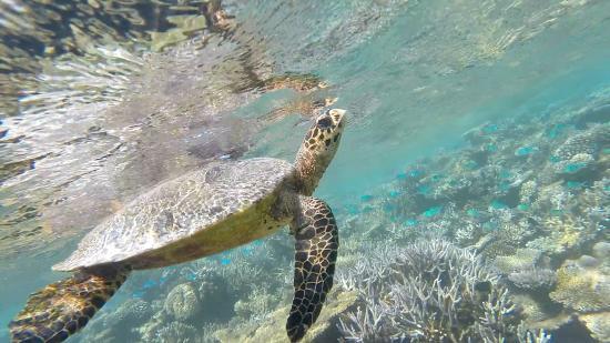 Diamonds Athuruga: House reef turtle