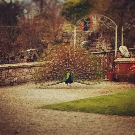 Peacocks at Ruthin Castle
