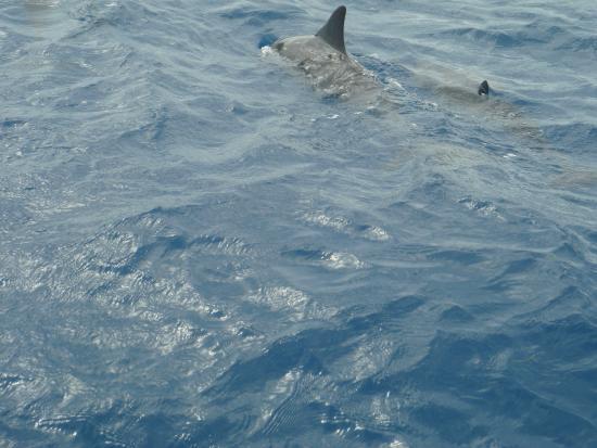 La Pirogue - Swim with the Dolphins: Golfinhos!