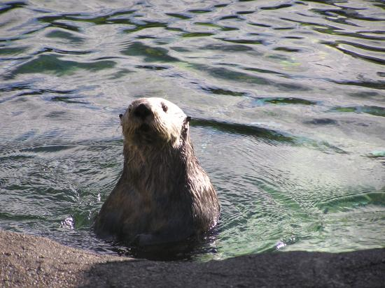 curious sea otter - Picture of Oregon Coast Aquarium ...