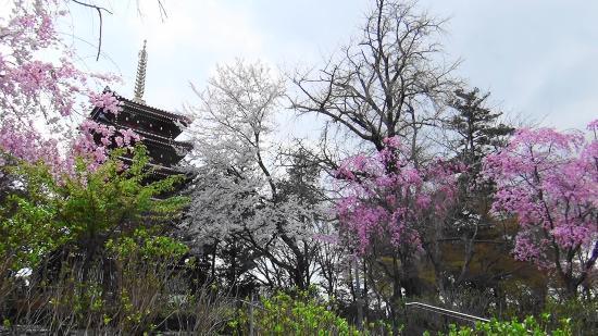 Hondo-ji Temple : 「桜」の頃