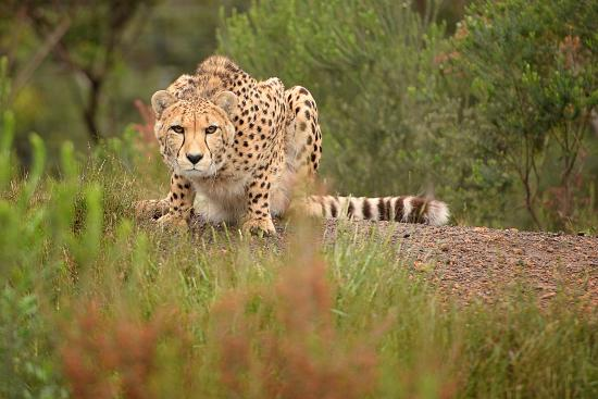 The Crags, África do Sul: Cheetah Walks