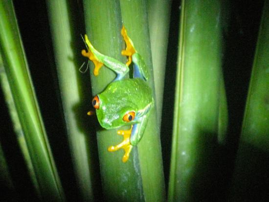 Monteverde Frog Pond : Red Eyed Tree Frog