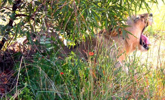Ama-Zing Pilanesberg Safari Private Day Tour : Lion