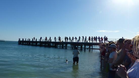 Monkey Mia Dolphin Lodge Backpackers: Dolphin feeding in the morning
