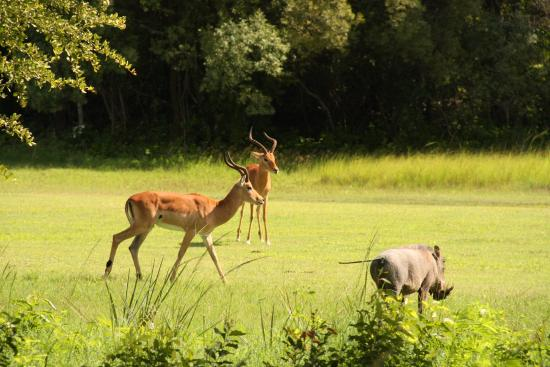 Elephant Hills Resort: Impala and wart hogs on the golf course