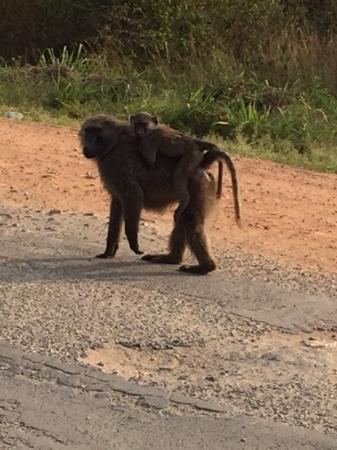 Kyambura Gorge Lodge: Baboons!