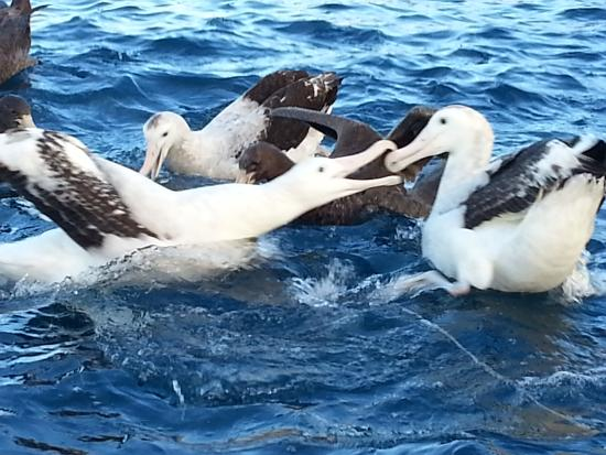 Kaikoura, Nieuw-Zeeland: two albatrosses very close to our boat