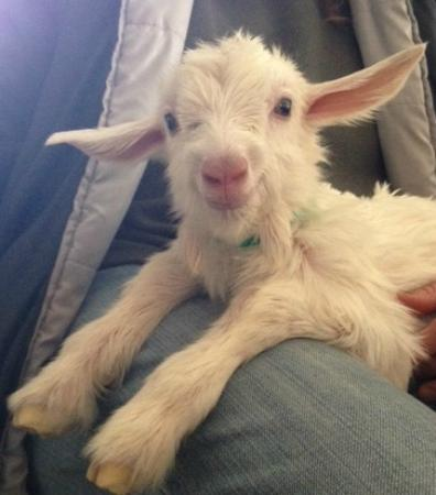 Rainbow Ridge Farms Bed and Breakfast: Baby goat 1 hour old