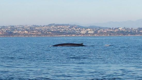 Dana Point, CA: Fin whales are the 2nd largest whales next to Blue whales