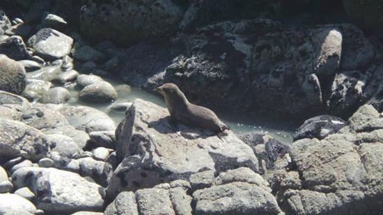 Cape Foulwind Walkway: Seal Colony