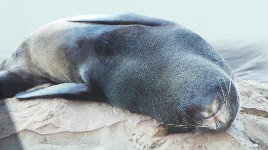 Cape Foulwind Seal Colony : Seal Colony