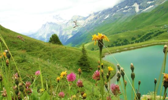 Grindelwald, Suiza: Summer time Alpine flowers