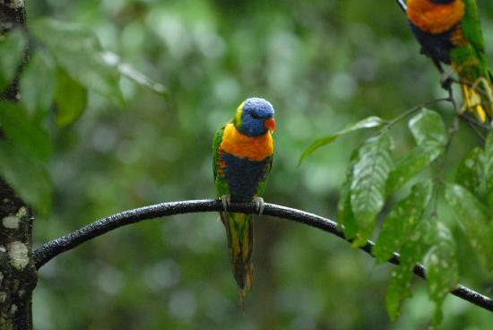 Crater Lakes Rainforest Cottages: Local Birds close to the cottage
