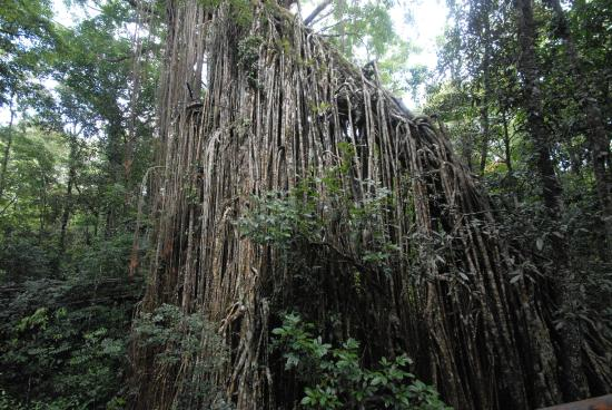 Curtain Fig National Park : Natures mysterious creation