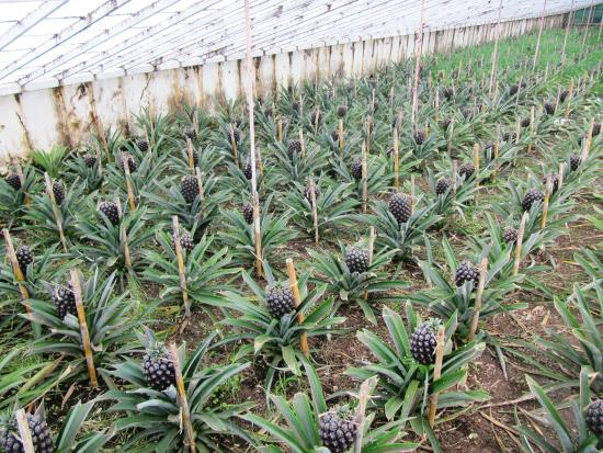 arruda pineapple plantation sao miguel portugal. Black Bedroom Furniture Sets. Home Design Ideas