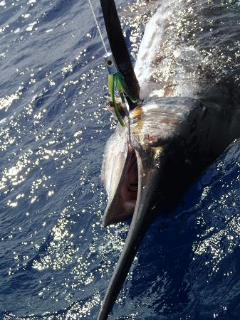 Sandals LaSource Grenada Resort and Spa : 350 lb. Blue Marlin