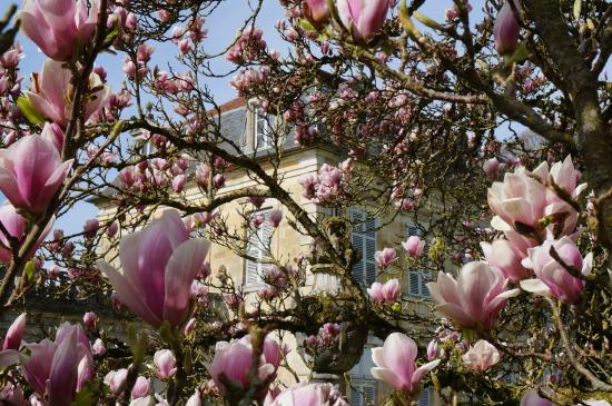 magnolia lu plus bel arbre de champagne ardenne 2013 picture of abbaye de trois fontaines. Black Bedroom Furniture Sets. Home Design Ideas
