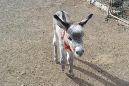 Agroturismo La Gayria : cucciolo di asino
