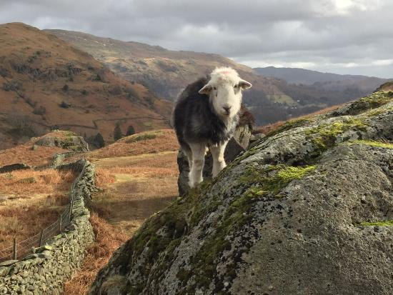 Easedale Tarn: An Herdy on the way down.