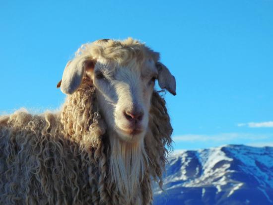 Estancia Rio Mitre: ovejas