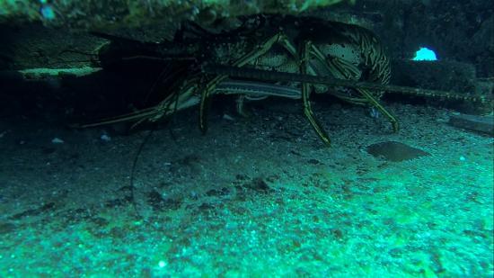 bahía de Simpson, St. Maarten: Massive lobsters
