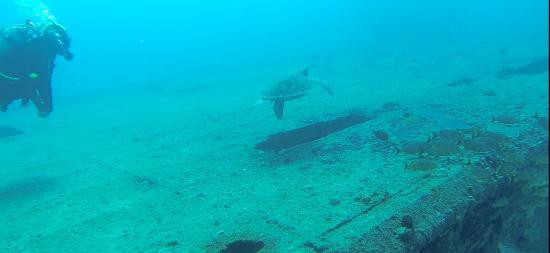 bahía de Simpson, St. Maarten: Big turtle