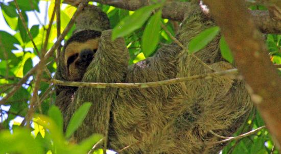 Pineapple Tours: sloth on the way in...