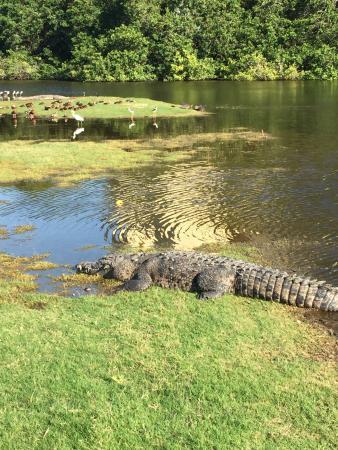 Marina Vallarta Club de Golf: Croc on #11